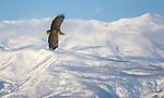 Shiretoko Peninsula, Hokkaido, Japan<br /> White tailed sea eagle (Haliaeetus albicilla) in flight, near Rausu fishing village