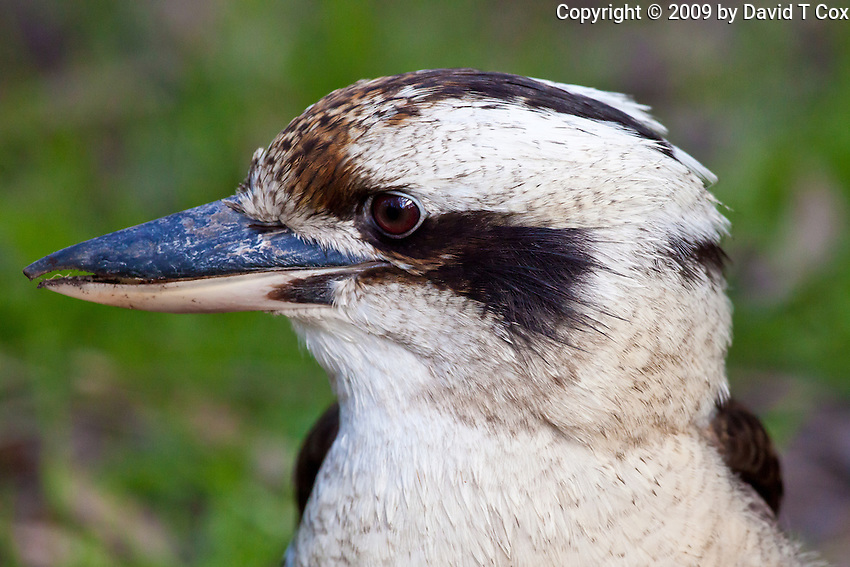 Laughing Kookaburra, Neranie Bay, Myall Lakes, NSW, Australia