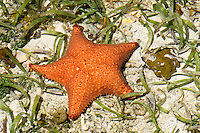 Cushion Sea Star (Oreaster reticulatus), a common starfish on Star Beach, near Bocas del Toro, Colon Island, Panama