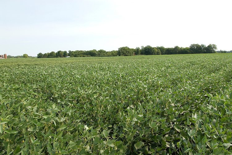 Minnesota agriculture: corn and soybeans are the two main crops of Southern Minnesota.  Field of soybeans..Photo mnqual333-74838..Photo copyright Lee Foster, www.fostertravel.com, 510-549-2202, lee@fostertravel.com.