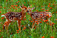 Two 4-week old fawns talking it over in a field of flowers