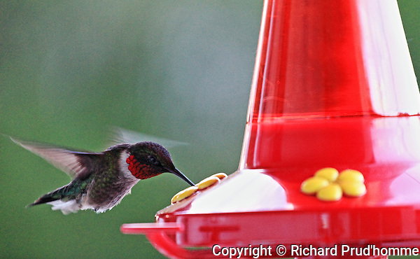 A male hummingbird drinking from a feeder