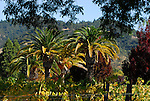 palms and vineyard near Calistoga