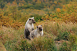 Two light colored Grizzly bear cubs, Ursus arctos horribilis, watch for their mother nearby.