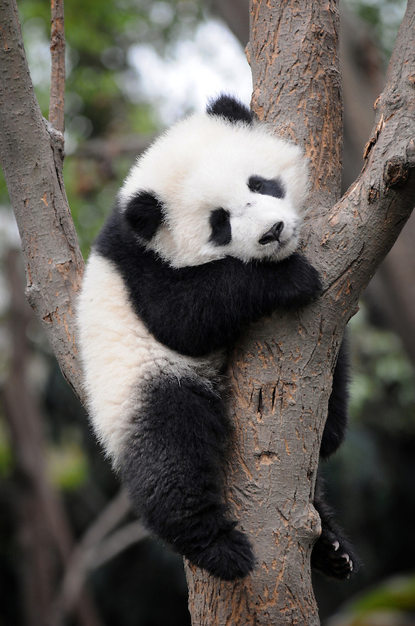 BABY PANDA ASLEEP IN TREE AT THE CHENGDU PANDA BREEDING AND RESEARCH CENTRE, SICHUAN, CHINA. 14/3/13. PICTURE BY CLARE KENDALL 07971 477316