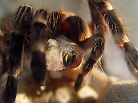 Aranha Caranguejeira<br /> <br /> Caranguejeira se alimenta da lagartixa-doméstica-tropical (Hemidactylus mabouia).<br /> <br /> A aranha caranguejeira (Mygalomorphae) possui variado colorido e tamanho, desde milímetros até 20cm de envergadura de pernas. Algumas são muito pilosas. Os acidentes são destituídos de importância médica, sendo conhecida a irritação ocasionada na pele e mucosas devido aos pêlos urticantes, que algumas espécies liberam como forma de defesa. Os pêlos urticantes podem estar concentrados na região posterior do abdome, de 10.000 a 20.000 pêlos por mm. <br /> Piracicaba, São Paulo, Brasil.<br /> Foto Warwick Manfrinato<br /> 28/02/2005