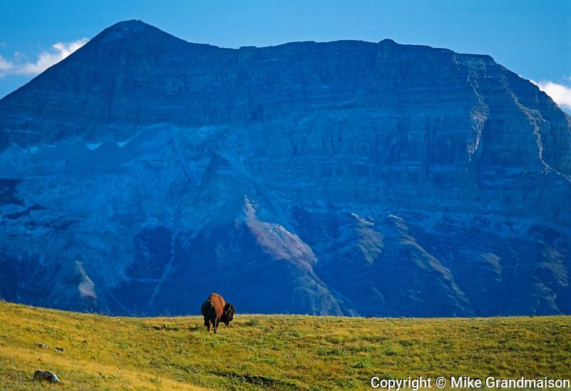 Bison (Bison bison) and Sofa Moun tain in Waterton , Waterton National Park, Alberta, Canada