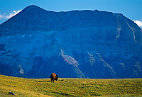 Bison (Bison bison) and Sofa Moun tain in Waterton , Waterton National Park, Alberta, Canada