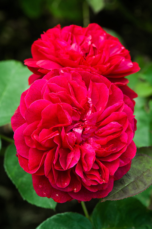 Rosa Darcey Bussell ('Ausdecorum'), late June. A modern compact shrub rose with crimson flowers. From David Austin, 2006.