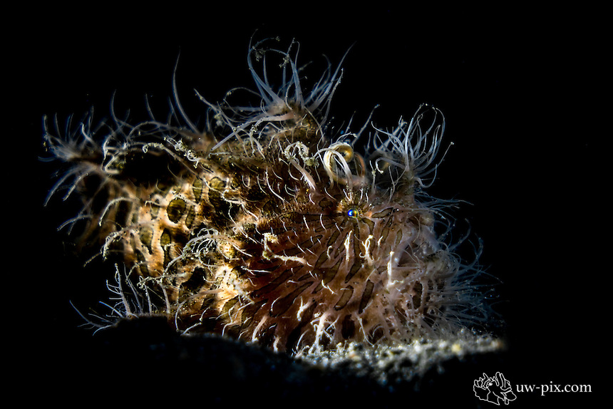 Brown Hairy Frogfish with long hair and black background