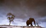 Reflection of African bush elephant and tree, Savuti, Chobe National Park, Botswana