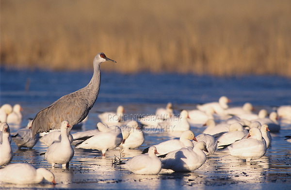 Sandhill Crane, Grus canadensis,adult between Snow Goose, Bosque del Apache National Wildlife Refuge , New Mexico, USA