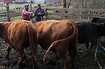 "Tobacco farmer John Ashe, back right, 44, decides which of his cows to sell, with help from Marshay Privott (cq Marshay Privott), back left, at Ashe's Reidsville, NC, farm on Friday, Feb. 24, 2012.  ""Every little bit helps,"" said Ashe, referring to the extra money he hopes to make with the cattle sale, something he says contributes in a small way to keeping his tobacco business going.  North Carolina tobacco farmers fear they could lose much of their export business because the health industry wants to exclude tobacco products from a major trade agreement with eight Pacific Rim countries.   Photo by Ted Richardson"