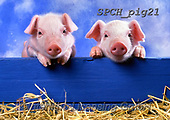 ANIMALS, REALISTISCHE TIERE, ANIMALES REALISTICOS, pigs, photos+++++,SPCHPIG21,#a#, EVERYDAY