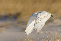 Snowy Owl, in flight.  Sand dunes at the Edwin Forsythe National Wildlife Refuge, New Jersey