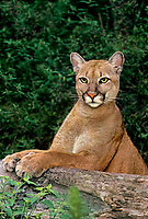 656324021 a captive wildlife rescue mountain lion felis concolor sits on a large log at a rescue facility in florida