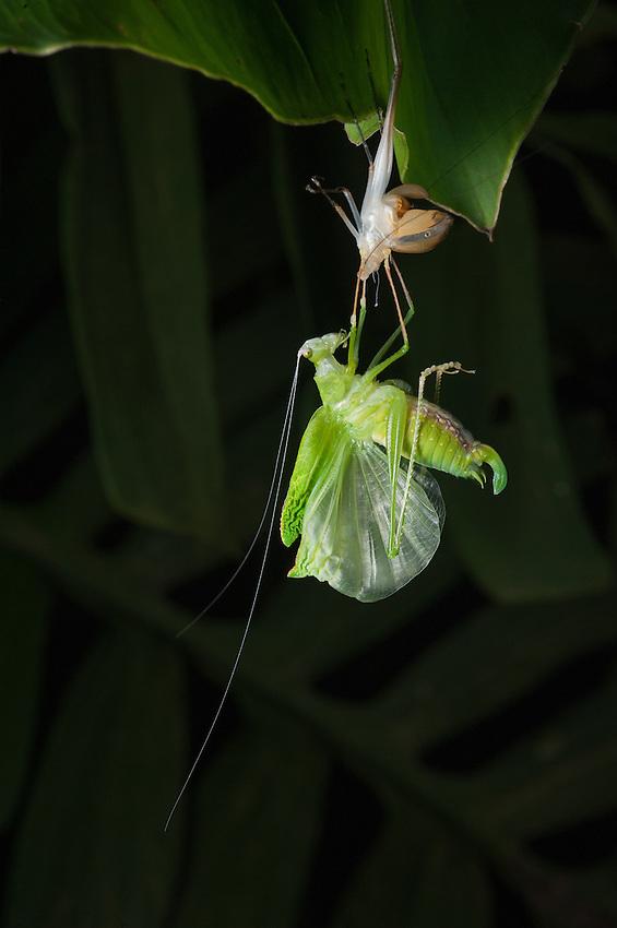A katydid moulting on a leaf. Siquirres, Costa Rica.