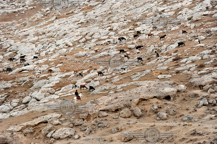 A shepherd on a donkey looks after his herd of goats near the unrecognised encampment of the Jahalin tribe along the Jerusalem - Jericho road in a part of the West Bank under Israeli control.
