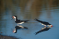 578613013 wild black skimmers rynchops niger bathe and feed in a small pond at the salton sea national wildlife refuge in california