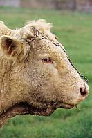 Europe/France/89/Yonne/L'Isle sur Serein: Taureau d'élevage charolais de Jean-Louis Riotte