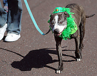 Sawyer the dog marches in the 2nd annual Pennridge St Patrick's Day Parade and Celtic Festival Saturday March 12, 2016 in Sellersville, Pennsylvania. (Photo by William Thomas Cain)
