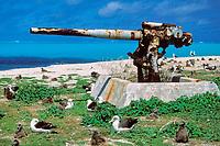 laysan albatross, Phoebastria immutabilis, with gun battery, Midway Island, Papahanaumokuakea Marine National Monument, Northwestern Hawaiian Islands, Hawaii, USA, Pacific Ocean