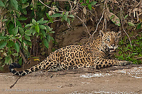Jaguar (Panthera onca), old injured female in lowland tropical rainforest, Manu National Park, Peru.