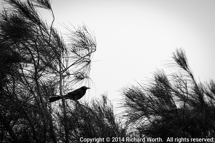 A black colored bird, possibly a grackle, is perched in the branches of a tree in a neighborhood park.  Urban wildlife.