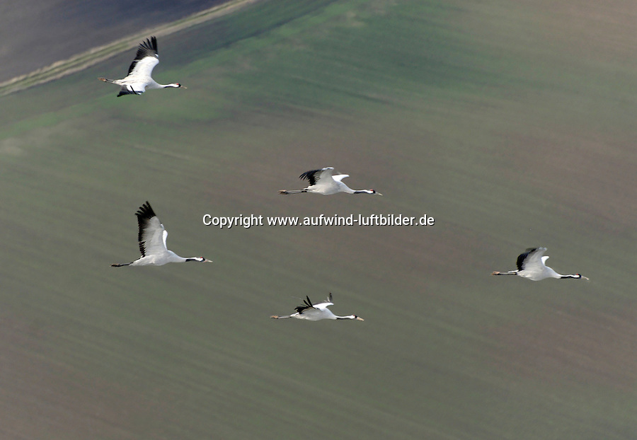 Kranich: DEUTSCHLAND, MECKLENBURG-VORPOMMERN, ZARRENTIN, (GERMANY, MECKLENBURG POMERANIA), 06.10.2008:  Europa, Deutschland, Mecklenburg Vorpommern, Zarrentin, Landkreis Ludwigslust, Testorf, aerial picture, aerial view, animal, birds, birds eye view,  cranes, Deutschland, Familie, fliegen, flight, Flug, flying, Gemeinschaft, Germany, Grus grus, Gruppe, Herbst, herbstlich, Kranich,  migration of birds, miteinander, Reise nach Sueden,  Schwarm, Tier, Voegel, Vogel, Vogelflug, Vogelperspektive, Vogelschwarm, Vogelzug, Zugvoegel, Zugvogel, Luftaufnahme, Luftbild, Luftansicht, .c o p y r i g h t : A U F W I N D - L U F T B I L D E R . de.G e r t r u d - B a e u m e r - S t i e g 1 0 2, 2 1 0 3 5 H a m b u r g , G e r m a n y P h o n e + 4 9 (0) 1 7 1 - 6 8 6 6 0 6 9 E m a i l H w e i 1 @ a o l . c o m w w w . a u f w i n d - l u f t b i l d e r . d e.K o n t o : P o s t b a n k H a m b u r g .B l z : 2 0 0 1 0 0 2 0  K o n t o : 5 8 3 6 5 7 2 0 9.V e r o e f f e n t l i c h u n g n u r m i t H o n o r a r n a c h M F M, N a m e n s n e n n u n g u n d B e l e g e x e m p l a r !.
