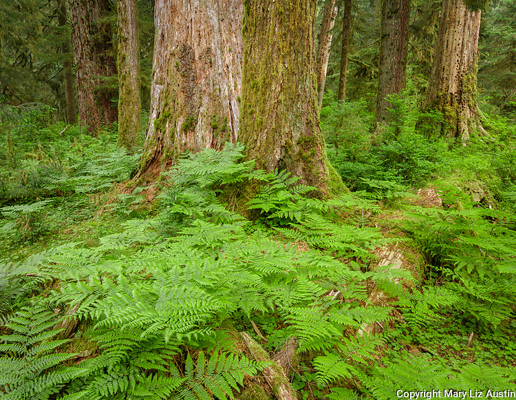 Olympic National Park, WA: Spiny wood fern (Dryopteris expansa) in forest understory of the Hoh rainforest.