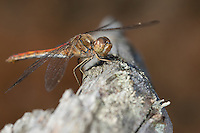 Gemeine Heidelibelle, Weibchen, Sympetrum vulgatum, Vagrant Darter, Moustached Darter, female, Segellibellen, Libellulidae, skimmers, perchers