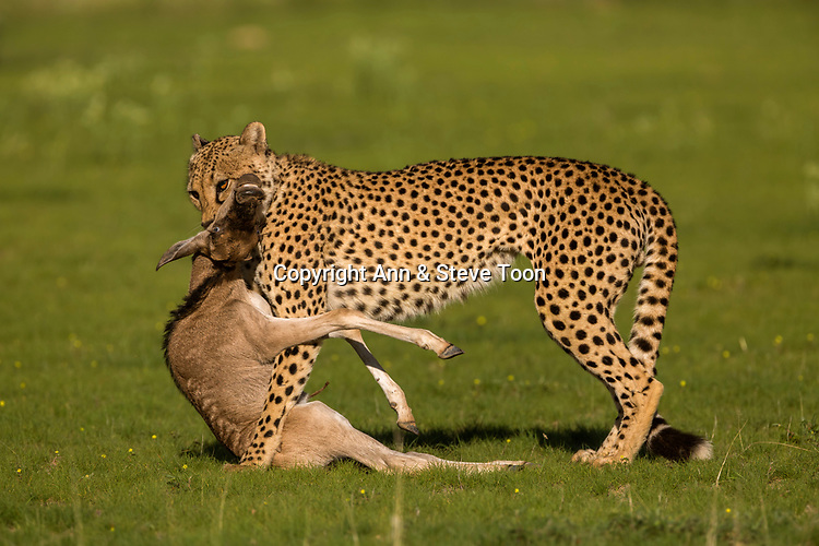 Cheetah (Acinonyx jubatus) with wildebeest (Connochaetes taurinus) kill, Kgalagadi transfrontier park, Northern Cape, South Africa, January 2017