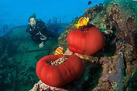 Scuba Diver at Umbria Wreck, Wingate Reef, Sudan, Red Sea, Indian Ocean, MR