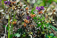 Orange and Purple flowers can be seen on the tundra hillsides along the Kongakut River, in Alaska's Arctic National Wildlife Refuge.