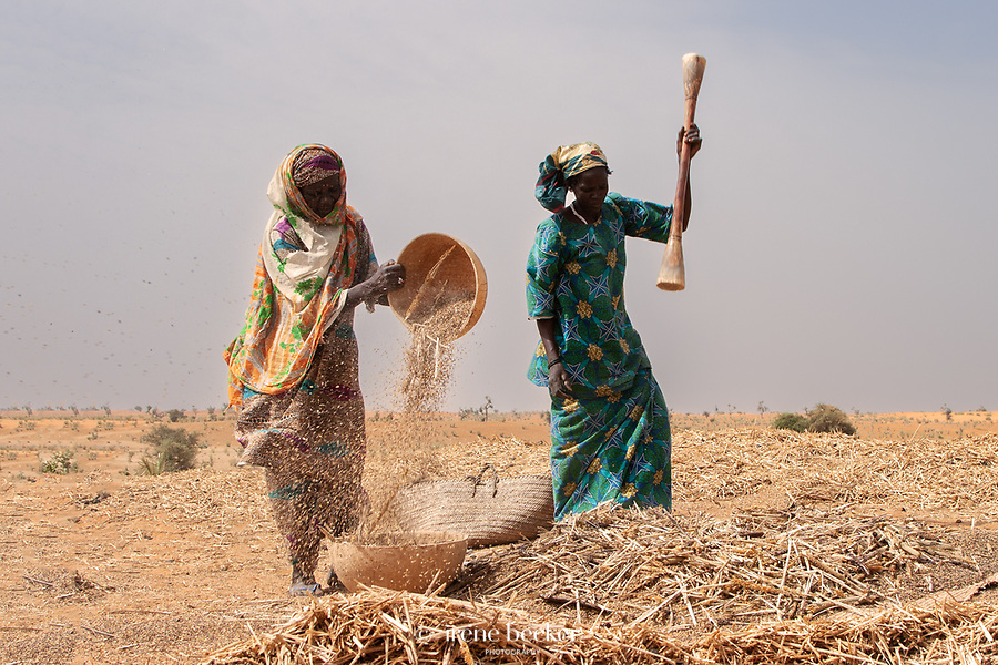 Hausa women working in the fields during millet harvest.To separate the millet grains from the husks , the millet is winnowed . The heavy grains fall back into the tray and the husks blow away .