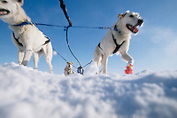 Ground View of D.Grilliot's Dogs Bering Sea Near Nome.2004 Iditarod