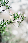 Sciadopitys verticillata, Japanese umbrella pine, koyamaki, living fossil conifer tree with flat wide needles artistic closeup, Kyoto, Japan