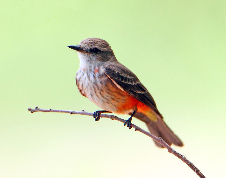 Adult female vermilion flycatcher