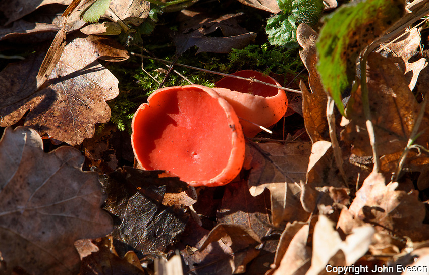 Scarlet Elfcup fungus, Leighton Moss RSPB nature reserve, Lancashire.