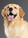 Golden retriever studio portrait isolated on gray background