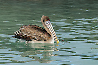 Brown Pelican (Pelecanus occidentalis), immature swimming, Galapagos Islands, Ecuador, South America