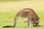 Eastern Grey Kangaroo (Macropus giganteus) mother grazing with joey peering from pouch, Jervis Bay, New South Wales, Australia