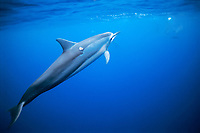 Long-snouted Spinner Dolphin, Stenella longirostris, note - cookie cutter shark wound, Isistius brasiliensis, Kona, Big Island, Hawaii, Pacific Ocean