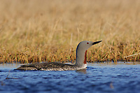 Adult Red-throated Loon (Gavia stellata) in breeding plumage on a tundra pond. Arctic Coastal Plain, Alaska. June.