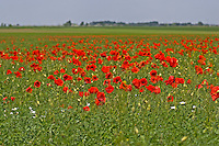 Klatsch-Mohn, Klatschmohn, Mohnblume, Klatschrose, Mohn, in einem Getreidefeld, Acker, Papaver rhoeas, Corn Poppy, Field Poppy, common poppy, corn rose, Flanders poppy, red poppy, Le coquelicot