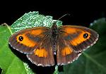 Gatekeeper Butterfly, Pyronia tithonus, adult with wings open, orange brown eye spots
