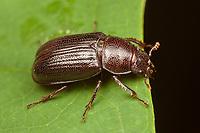 A female Oak Stag Beetle (Platycerus virescens) on a leaf.