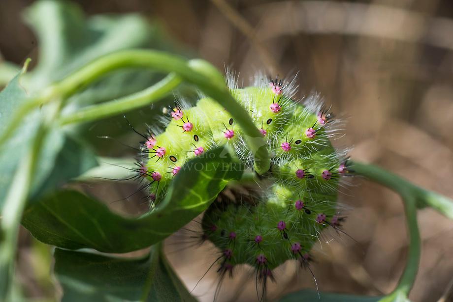 Kleine Nachtpauwoog (Saturnia pavonia) rups