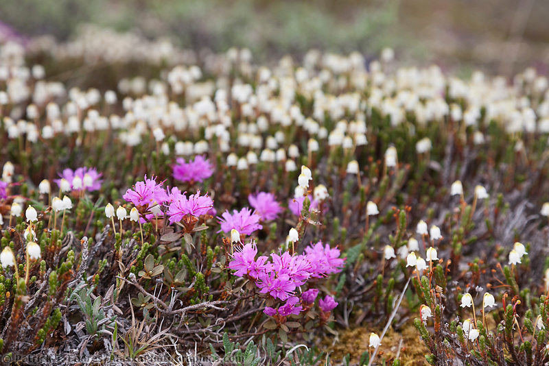 Lapland rosebay and bell heather wildflowers, Utukok Uplands, National Petroleum Reserve Alaska, Arctic, Alaska.