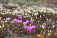 Lapland rosebay and bell heather wildflowers, Utukok Uplands, National Petroleum Reserve Alaska, Arctic, Alaska.